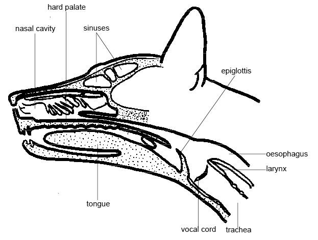 Anatomy and physiology of animals Section through head of a dog.jpg