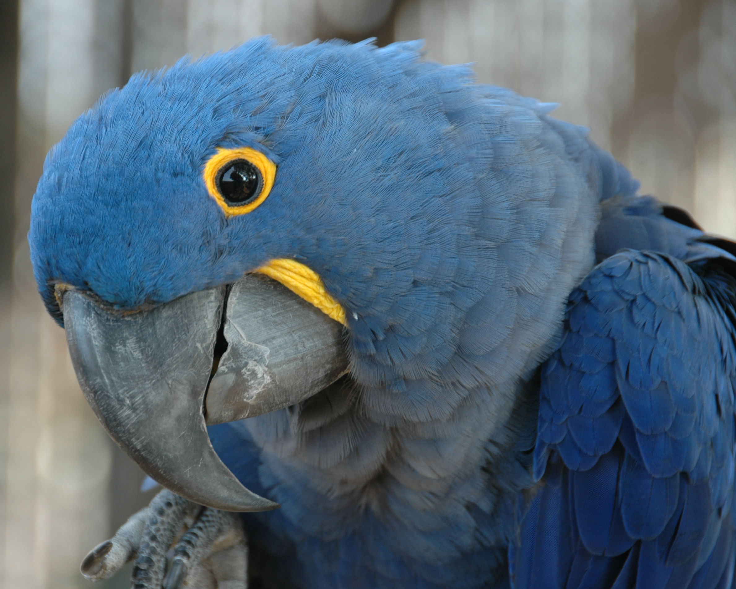http://upload.wikimedia.org/wikipedia/commons/2/2a/Anodorhynchus_hyacinthinus_-Hyacinth_Macaw_-side_of_head.jpg