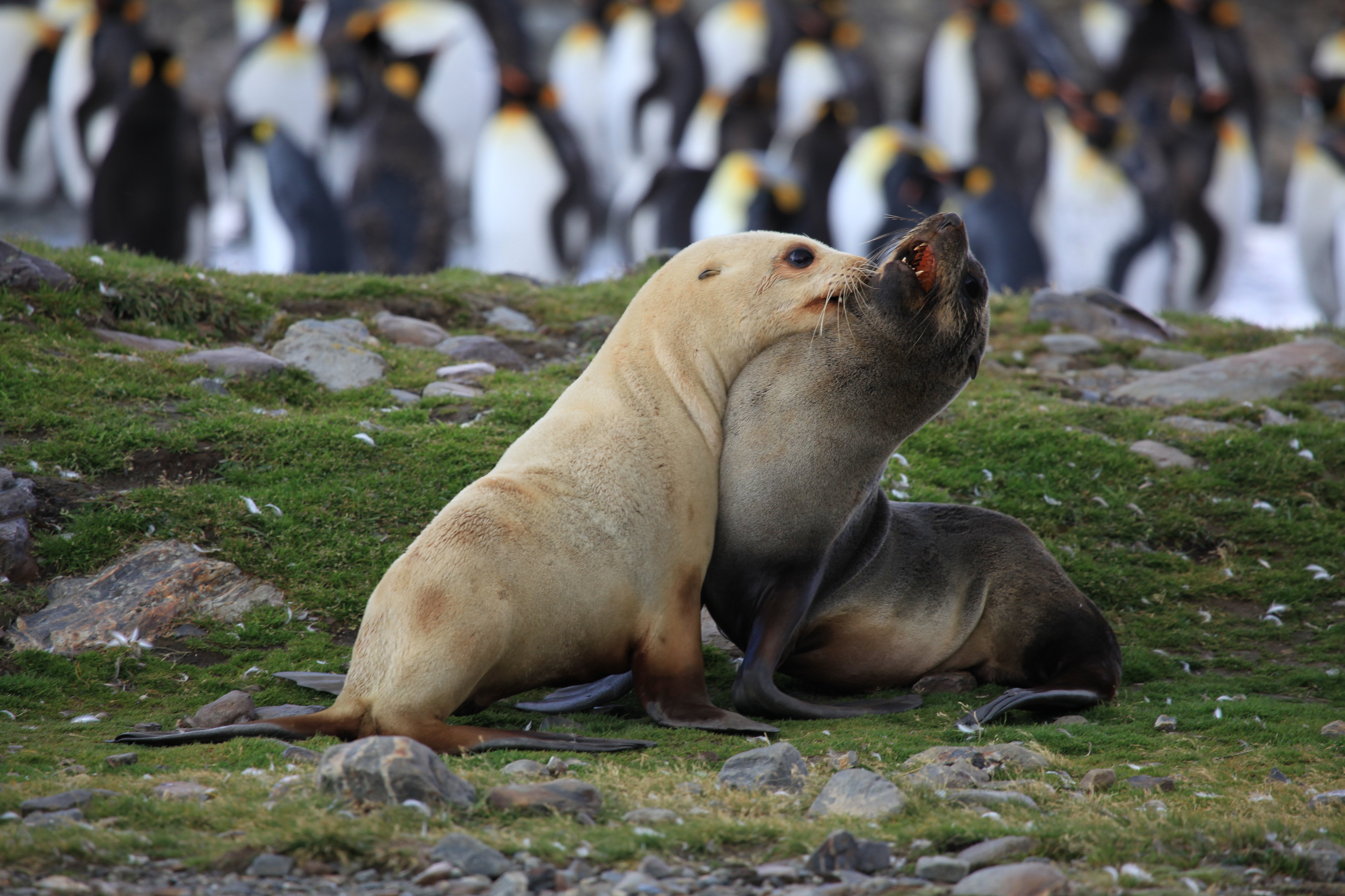 Antarctic fur seal essay