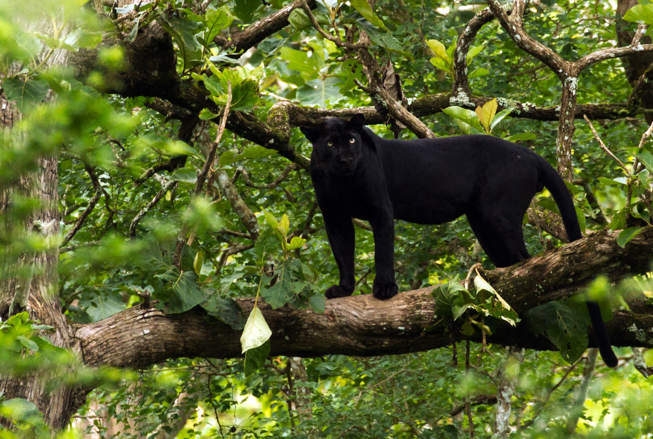 fileblack panther indiajpg wikimedia commons