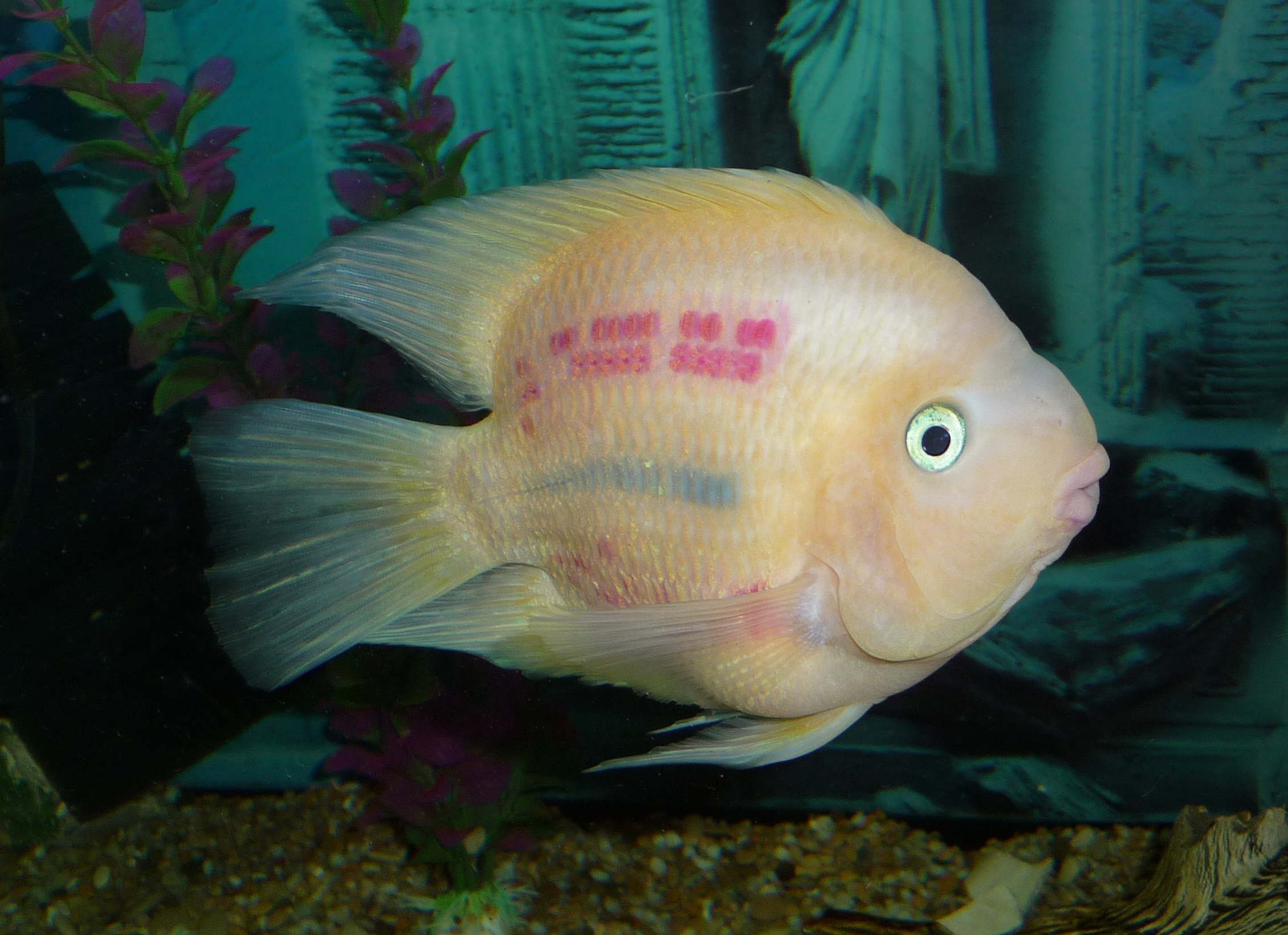 File:Blood parrot cichlid 2010 G1.JPG - Wikimedia Commons