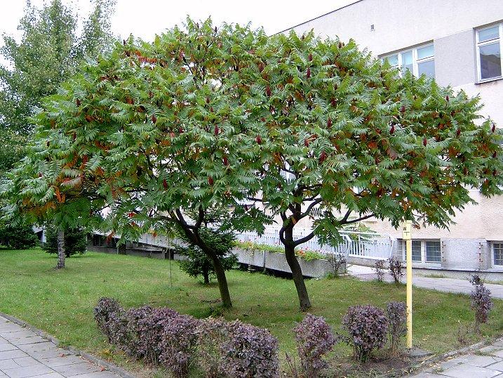 Sumach pálkový (lat. Rhus typhina)