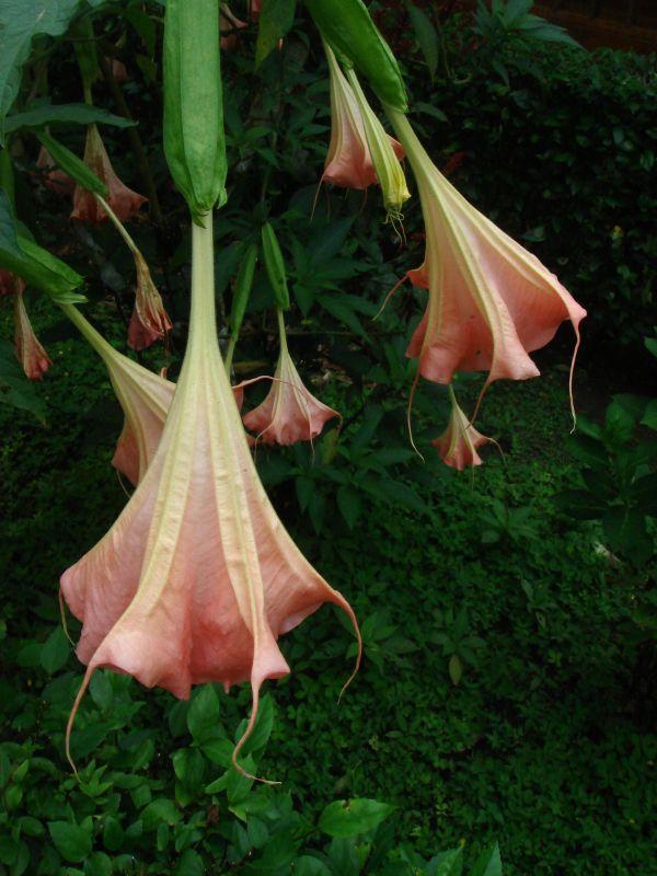 Brugmansia_insignis_Ecuador.jpg