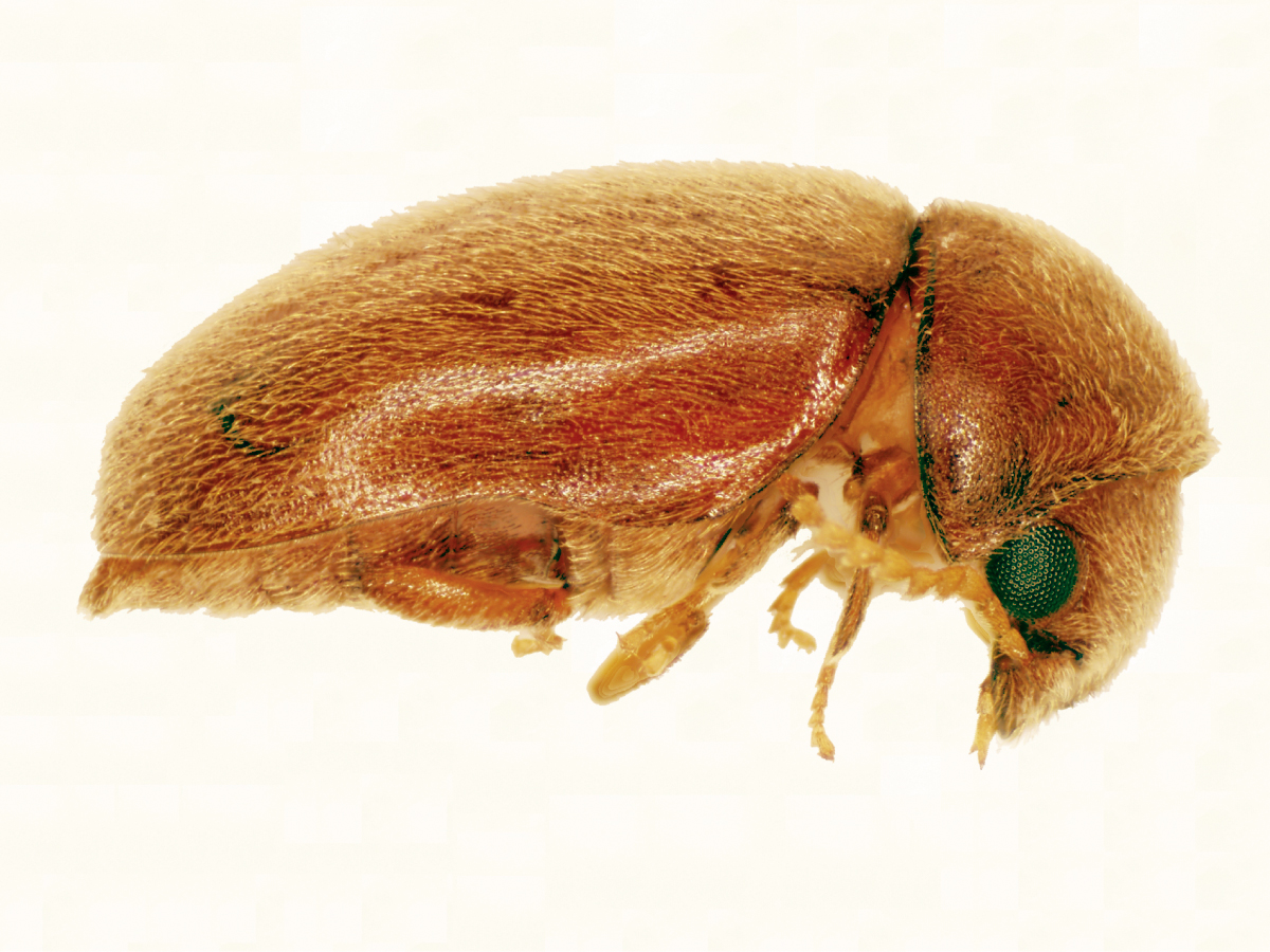 how to avoid cigar beetles