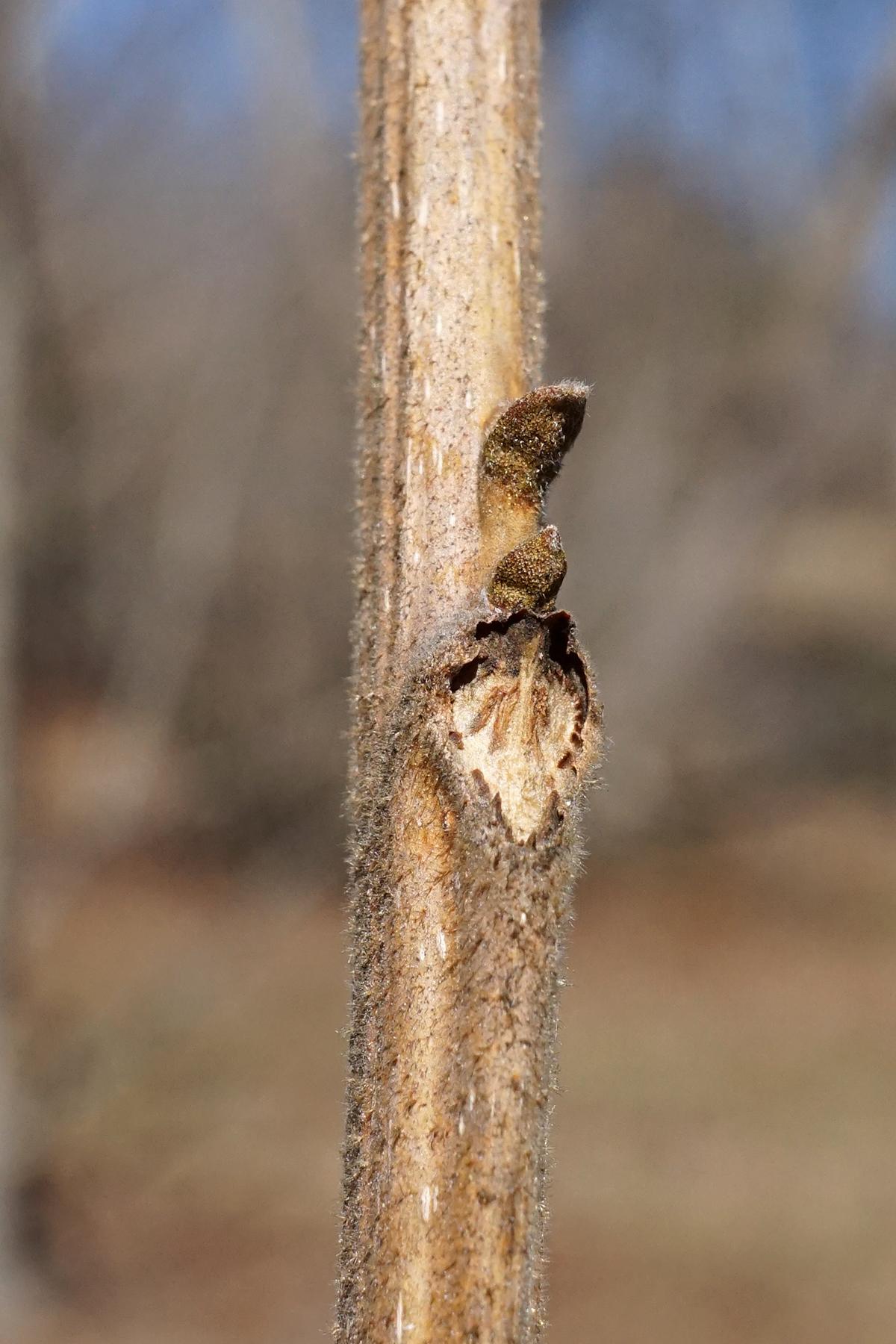 Carya illinoinensis (Pecan).jpg