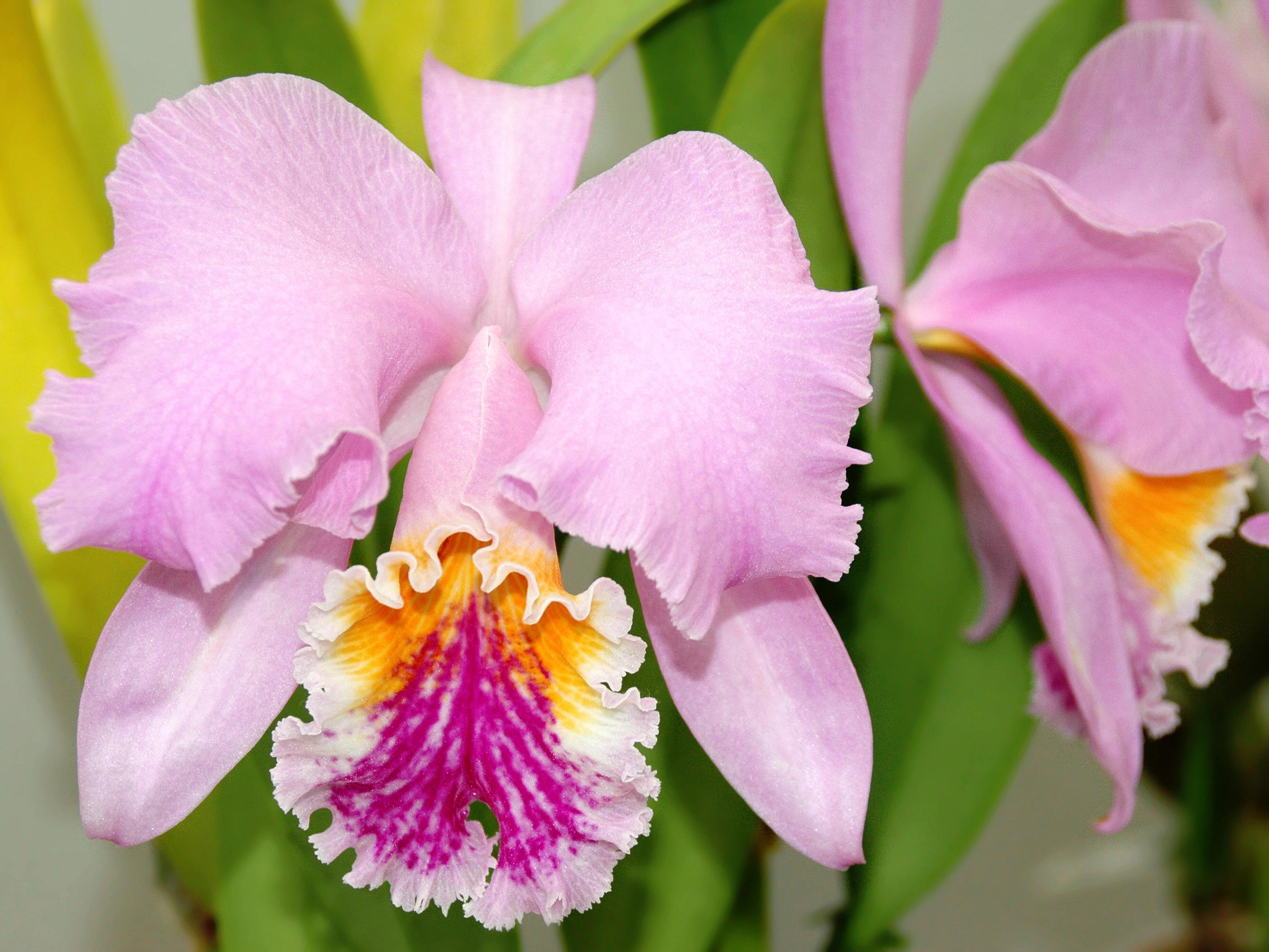 Resultado de imagen de Cattleya mossiae