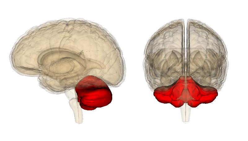 Lillhjärnans placering (i rött) under storhjärnan.