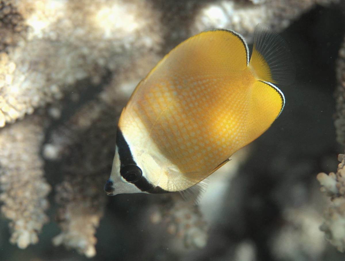 Chaetodon kleinii Réunion.JPG