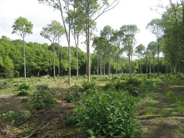 Coppiced area in Dering Wood - geograph.org.uk - 1426205