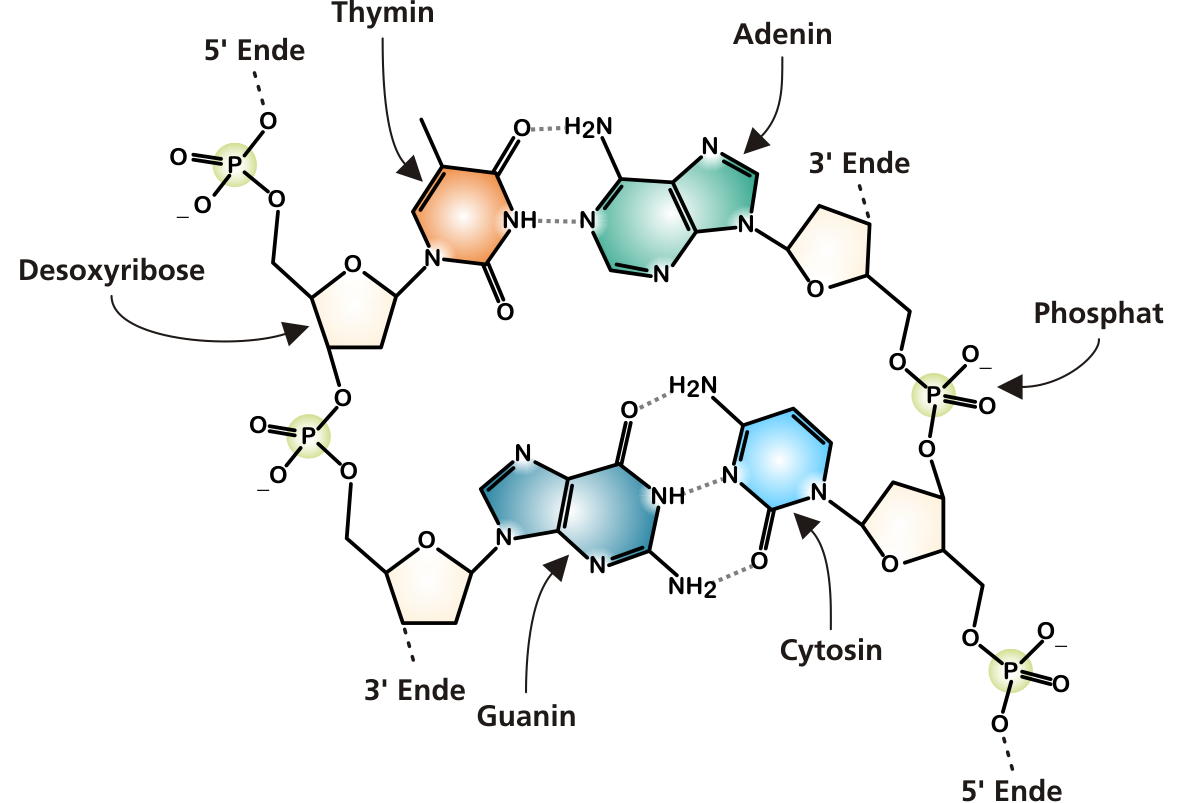 Filedna chemical structure croppedg wikimedia commons filedna chemical structure croppedg ccuart Image collections