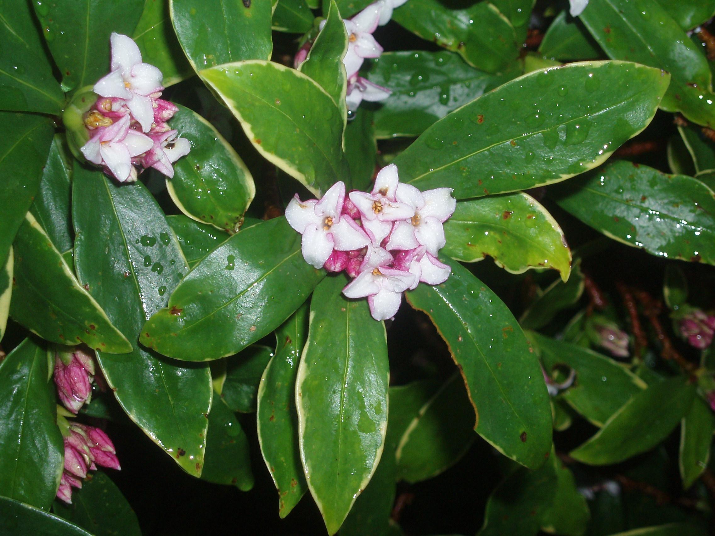 Daphne odora for Arbustos de hoja perenne para jardin