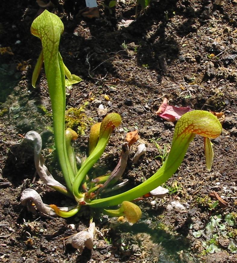 File darlingtonia californica jardin des plantes jpg for Jardin plante