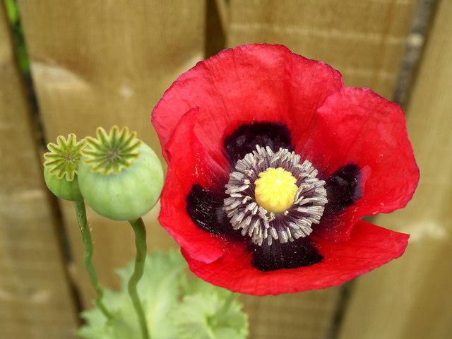 File:Deep Red Poppy - geograph.org.uk - 858264.jpg - Wikimedia Commons