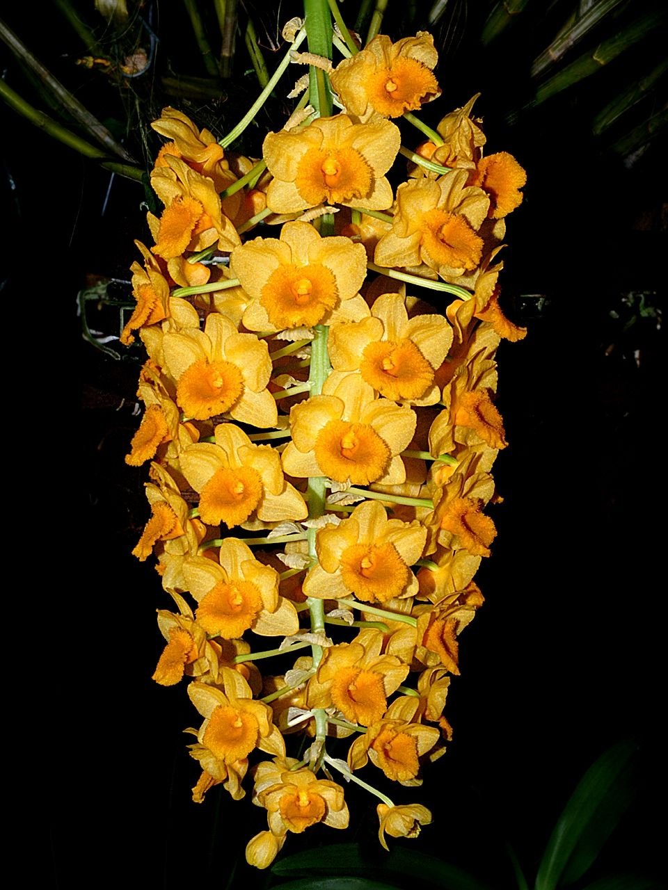 http://upload.wikimedia.org/wikipedia/commons/2/2a/Dendrobium_densiflorum_Orchi_104.jpg