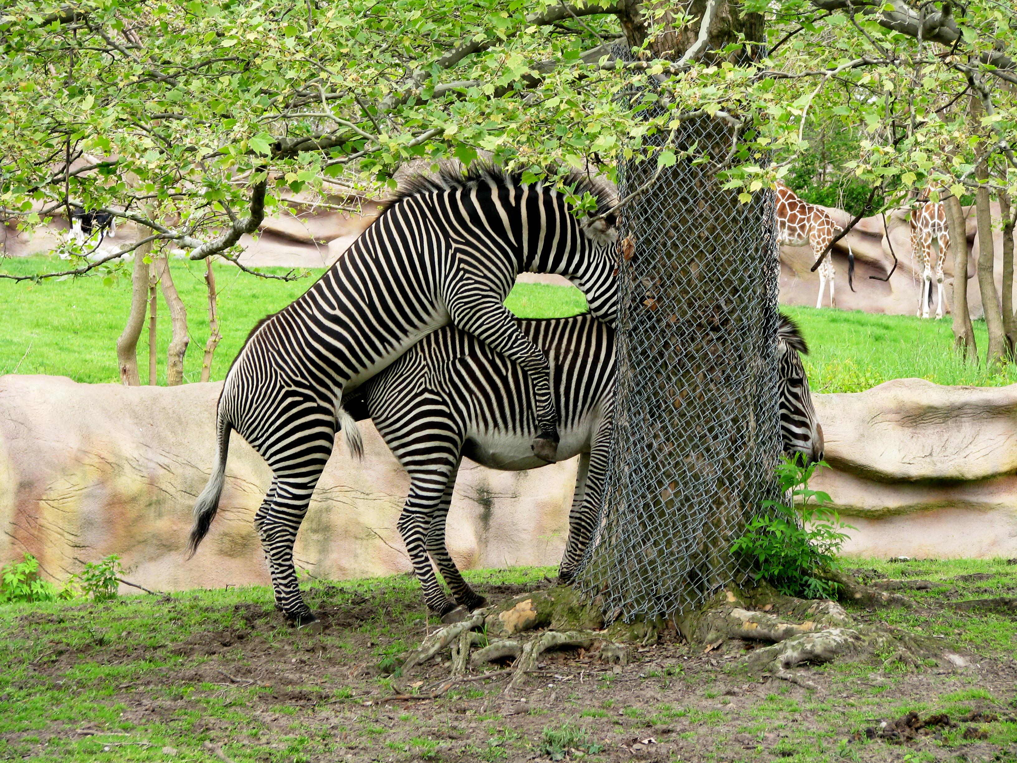 Filedetroit Zoo Zebras Mating 2501767179jpg Wikimedia Commons