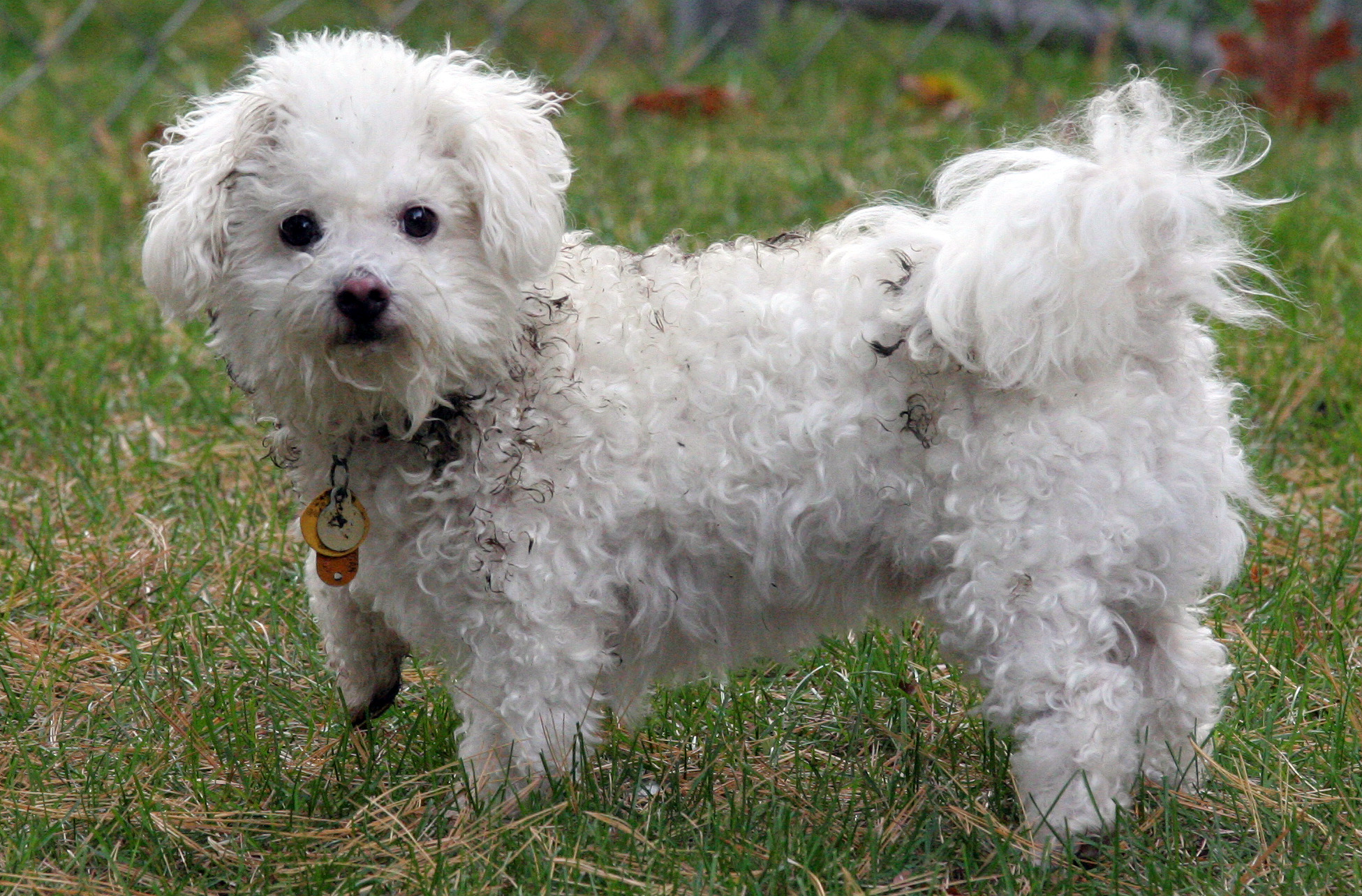 ... -legged, very curly –haired dogs (like the one below) are uncommon