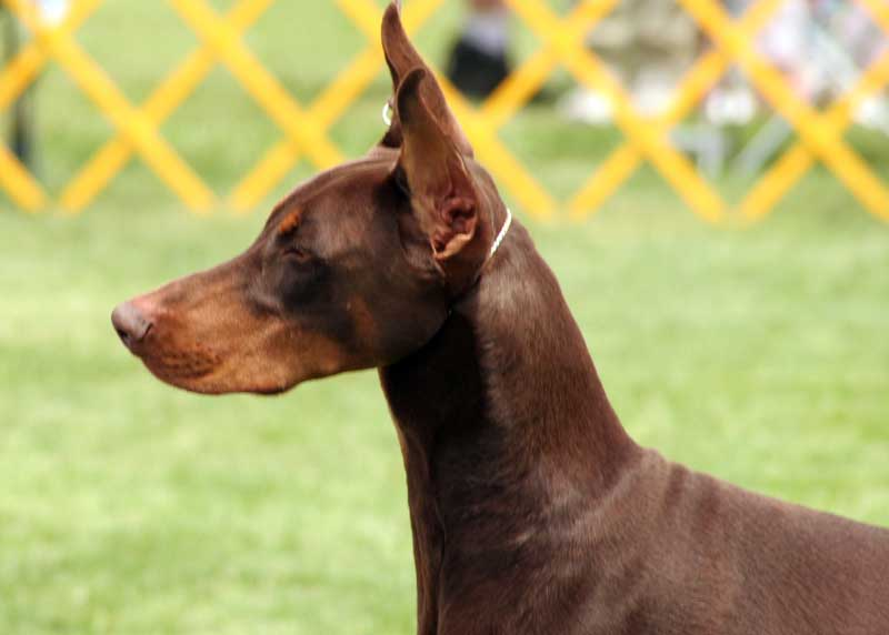 Doberman Puppies To Eat Adult Food