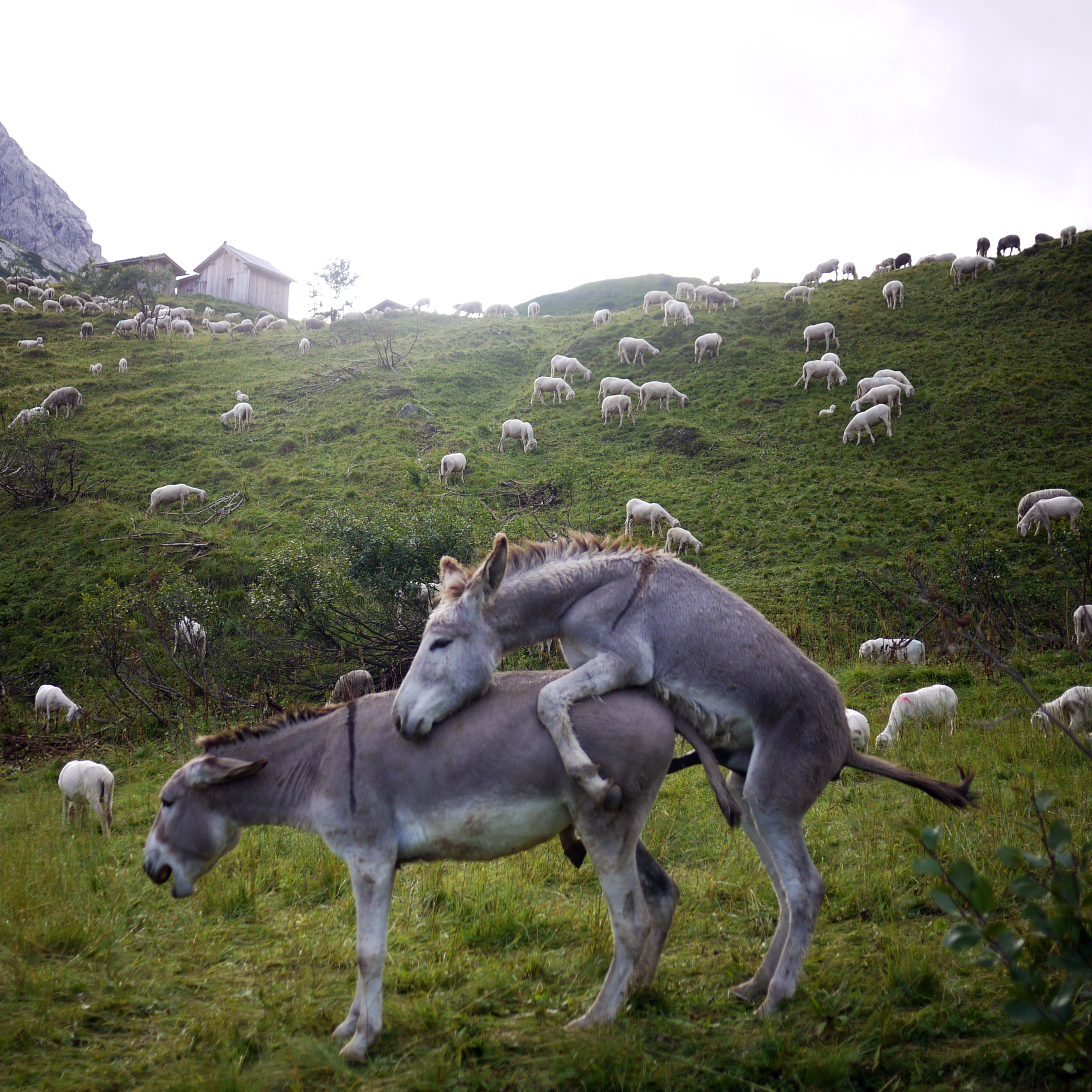 Donkeys mating images