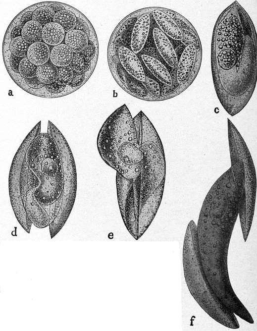 EB1911 Coccidia, Fig. 8.—SPOROGONY AND SPORE-GERMINATION IN BARROUSSIA ORNATA.jpg