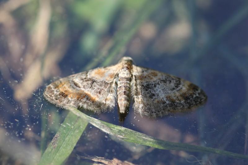 Eupithecia linariata (Geometridae) (Toadflax Pug) - (imago), Saint-Maurice-sous-les-Côtes, France