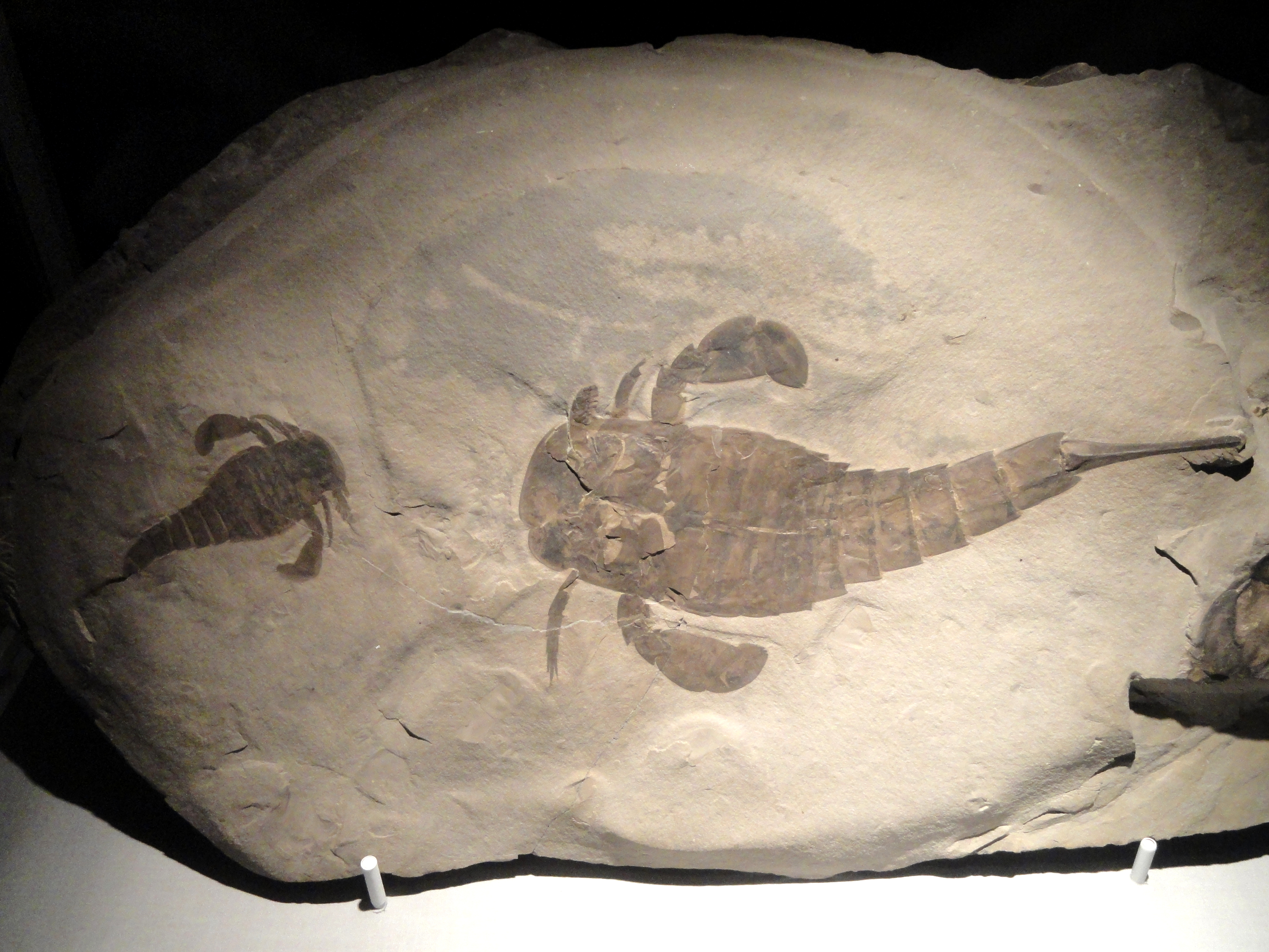 Sea Scorpion Fossil