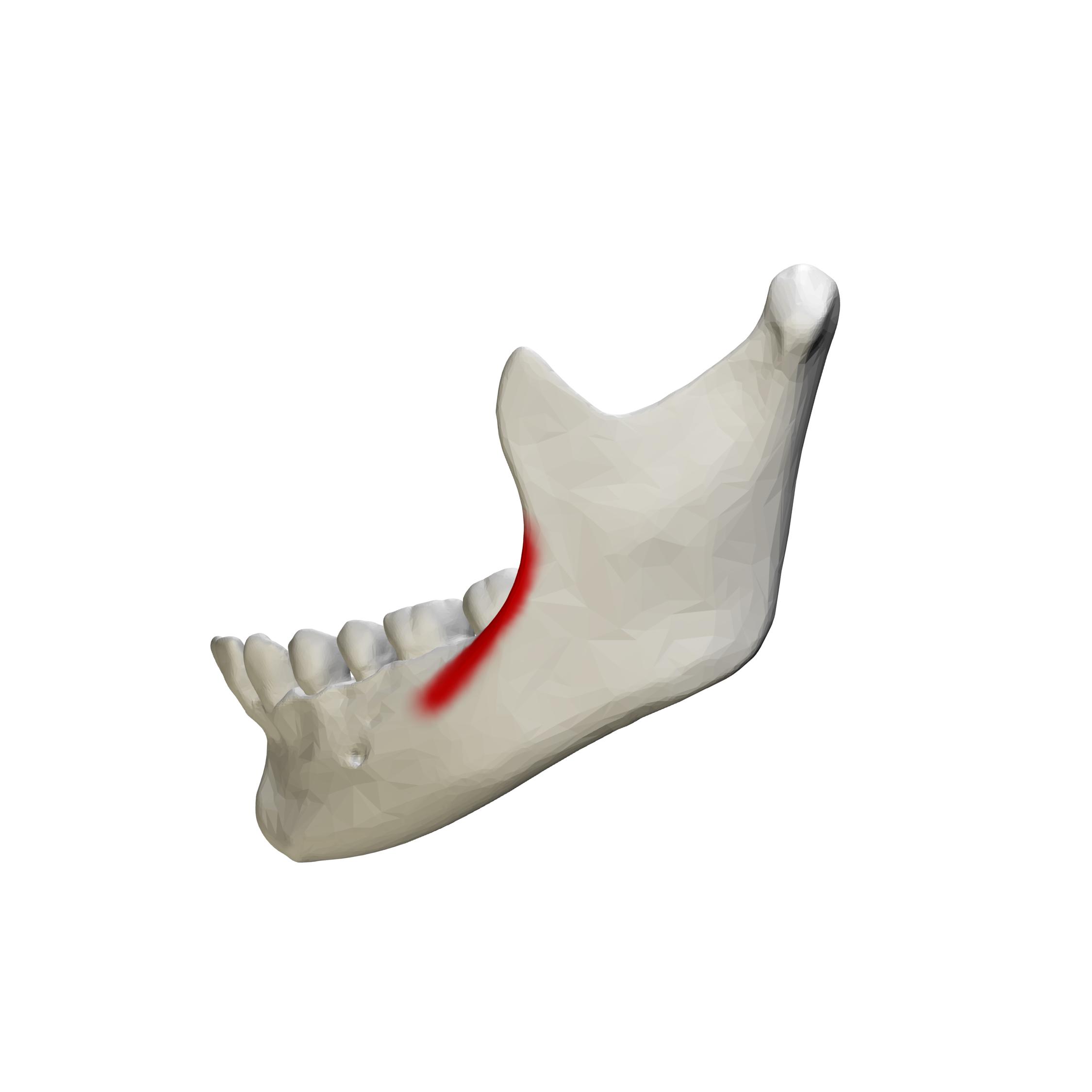 File:External oblique line of mandible - close up ...