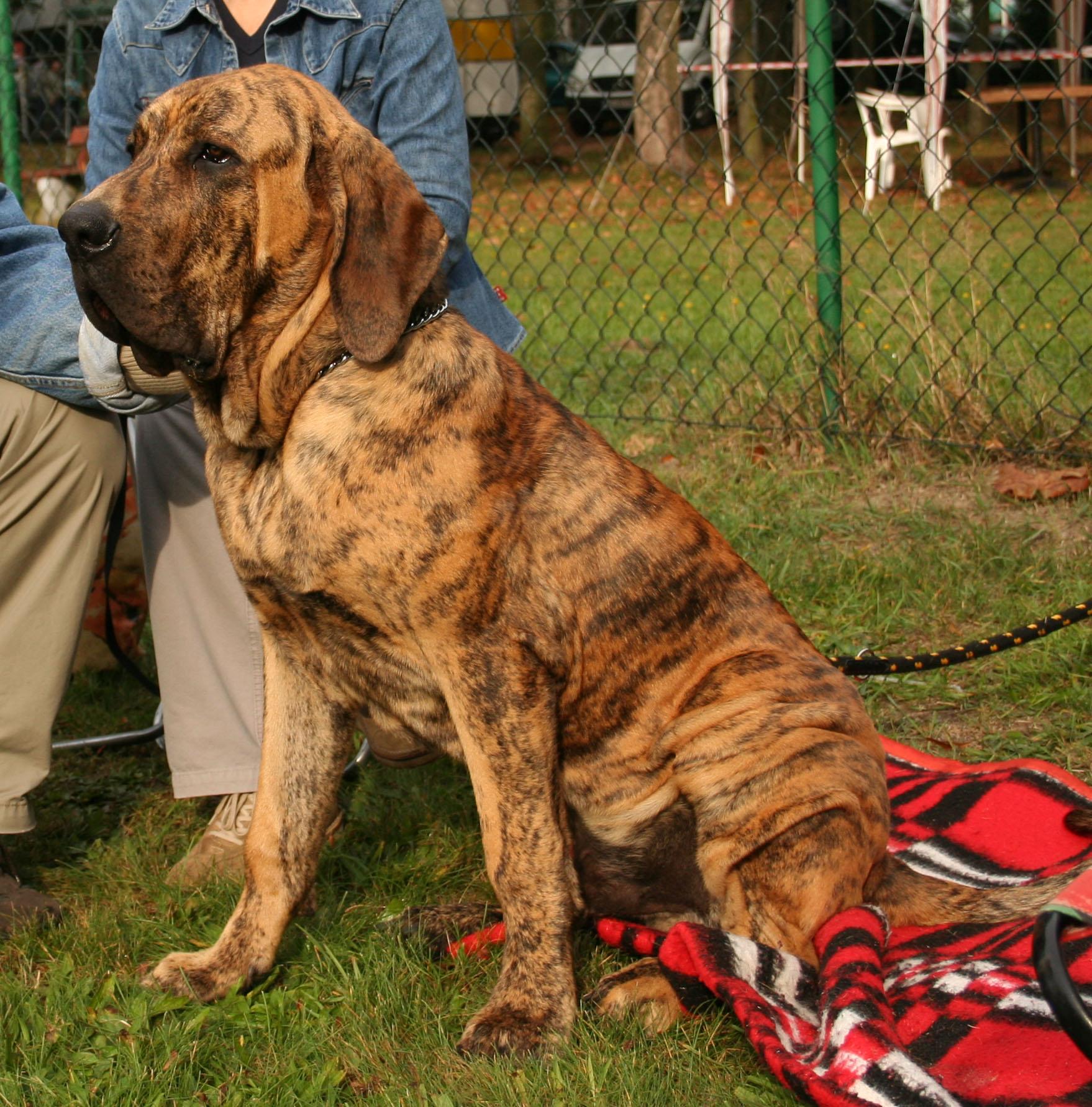 razas de perros mas peligrosas