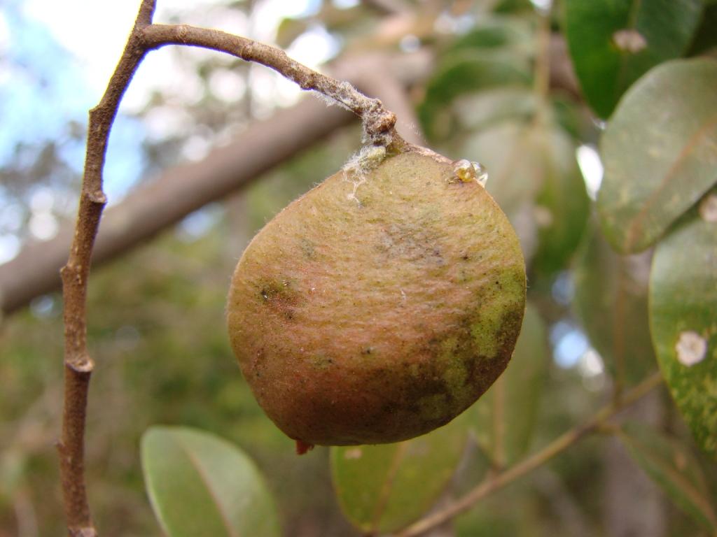 Copaiba oil, Copaifera sap, Detox 100% pure and natural ...