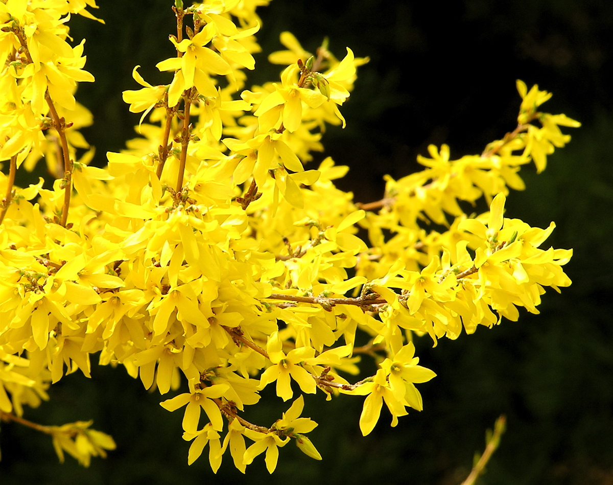 fileforsythia flower r  wikimedia commons, Beautiful flower
