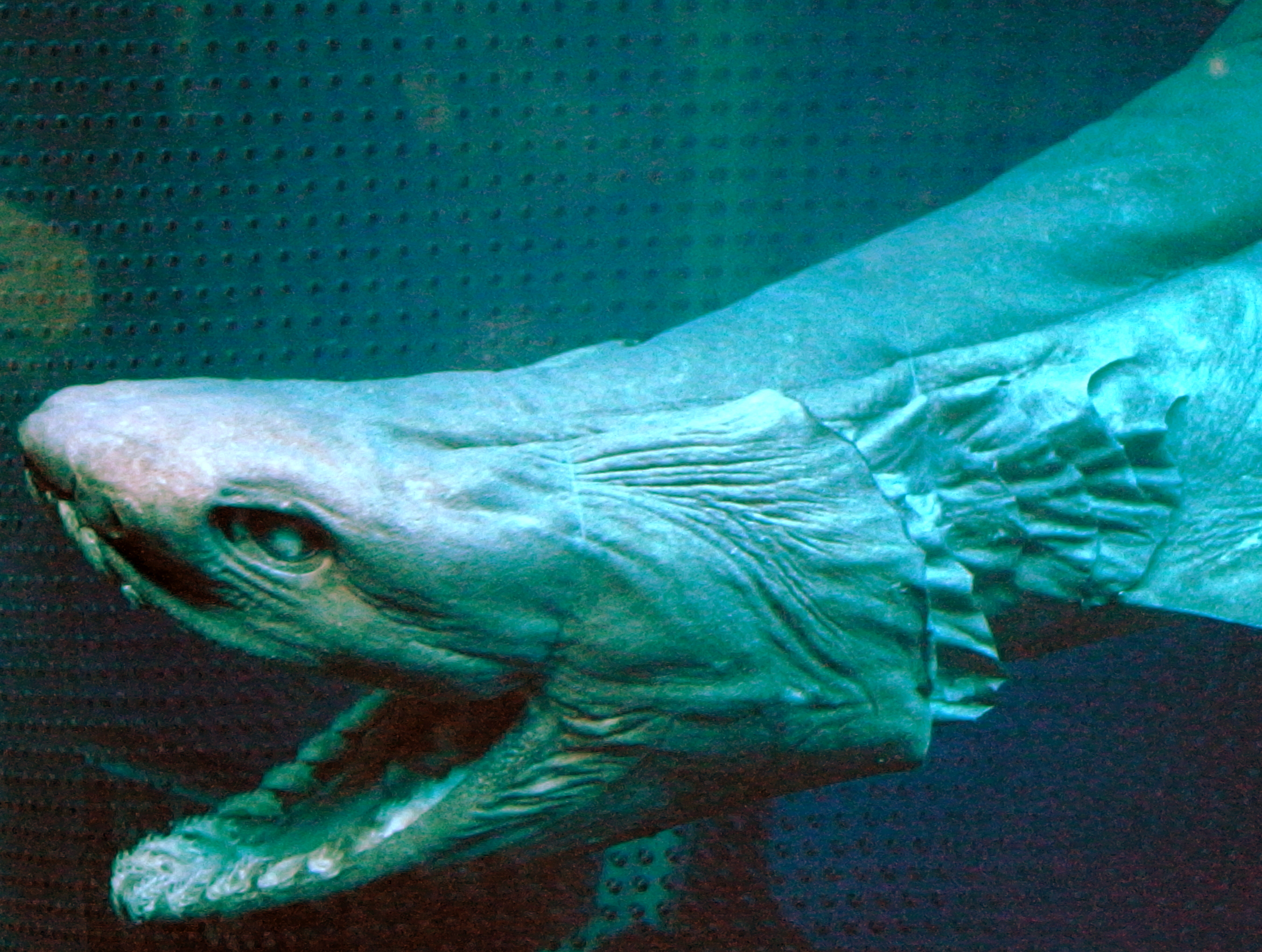gambar frilled shark