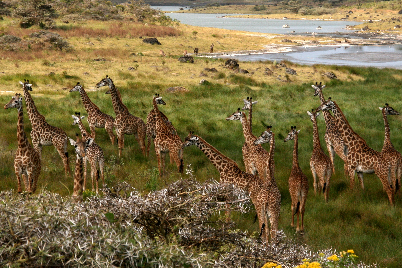 Africanza-giraffes-arusha
