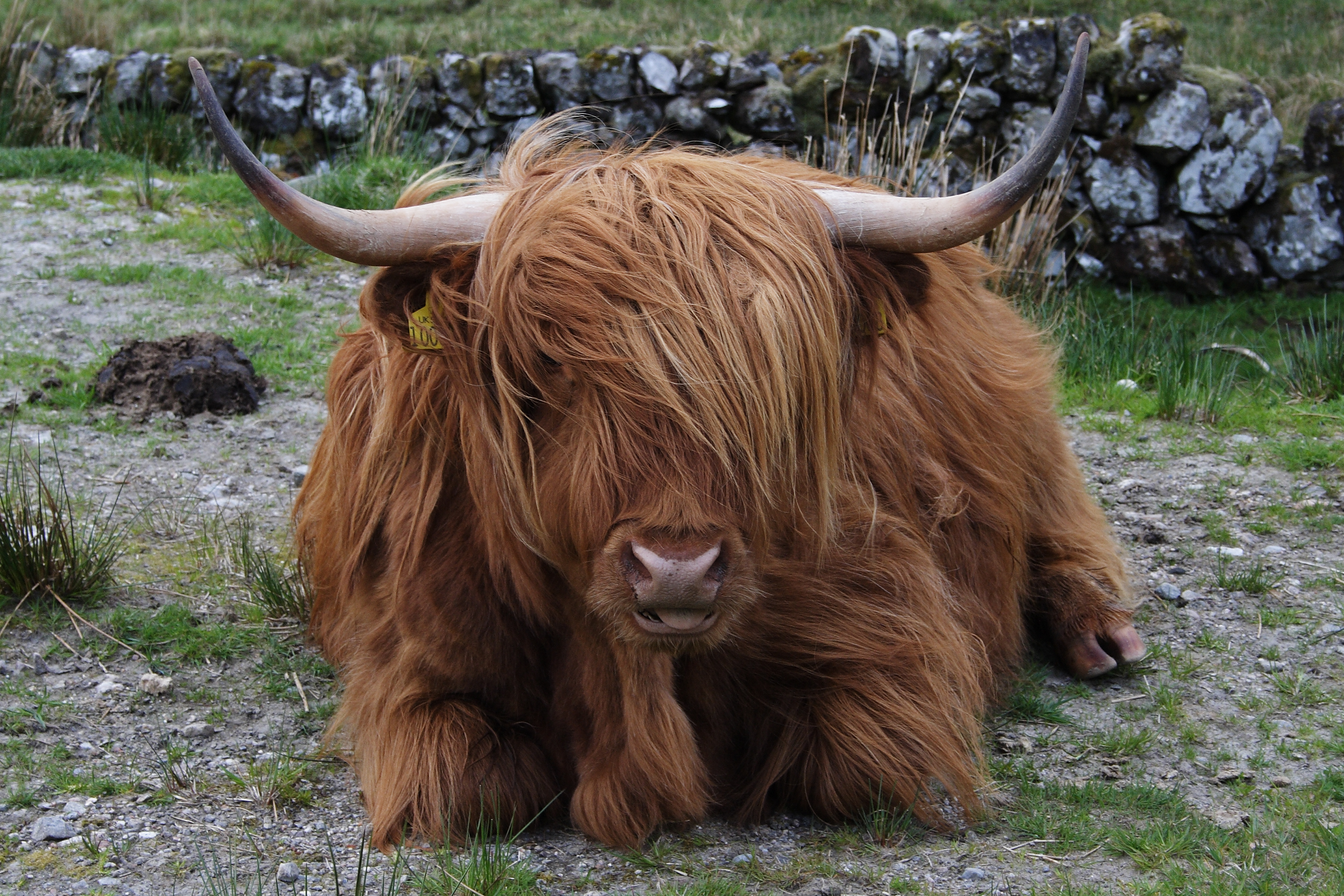 just a baby highland cow aww Dairy Cow Clip Art Funny Cow Cartoons