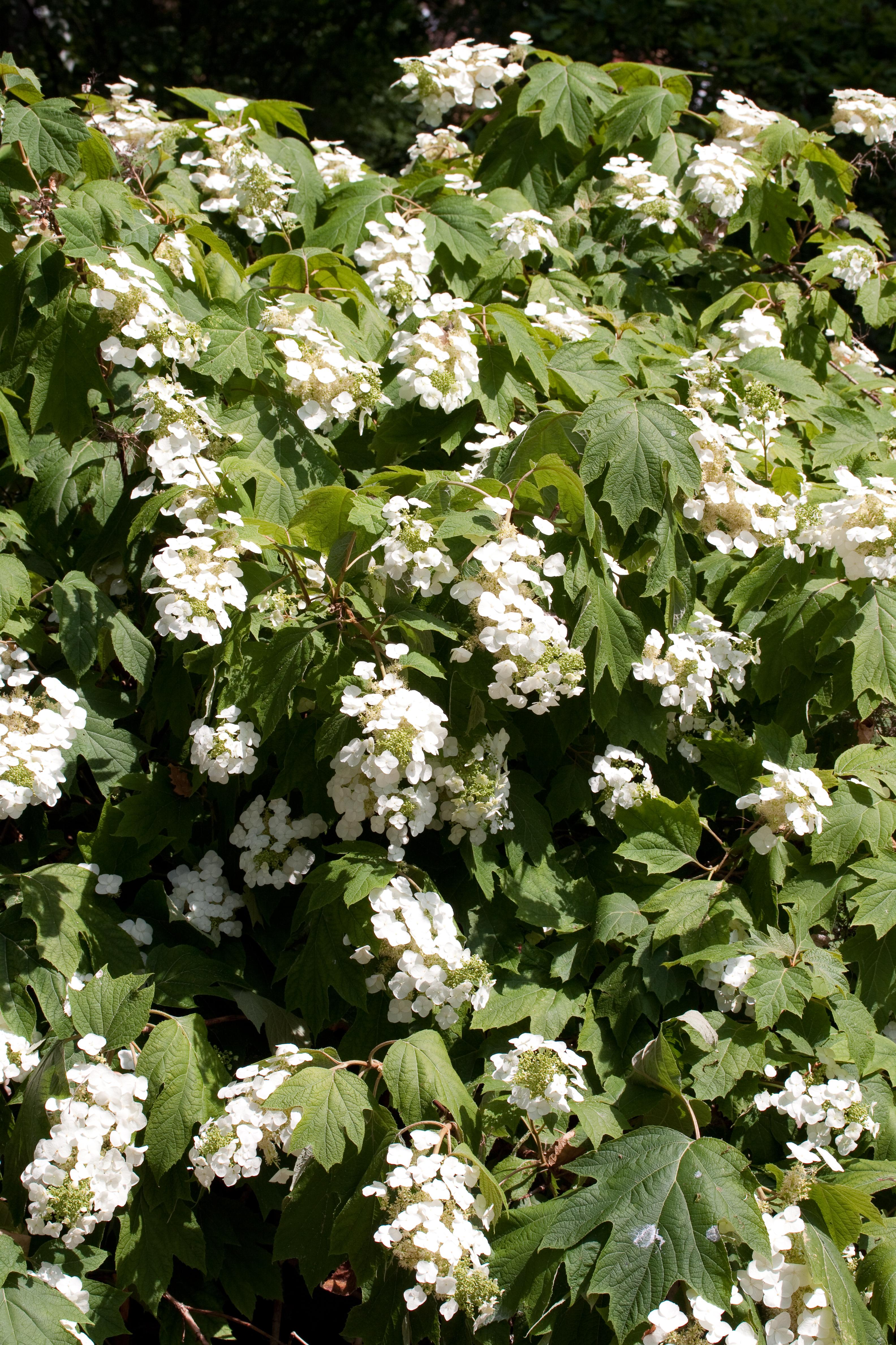 Hydrangea quercifolia wikiwand for Hydrangea quercifolia