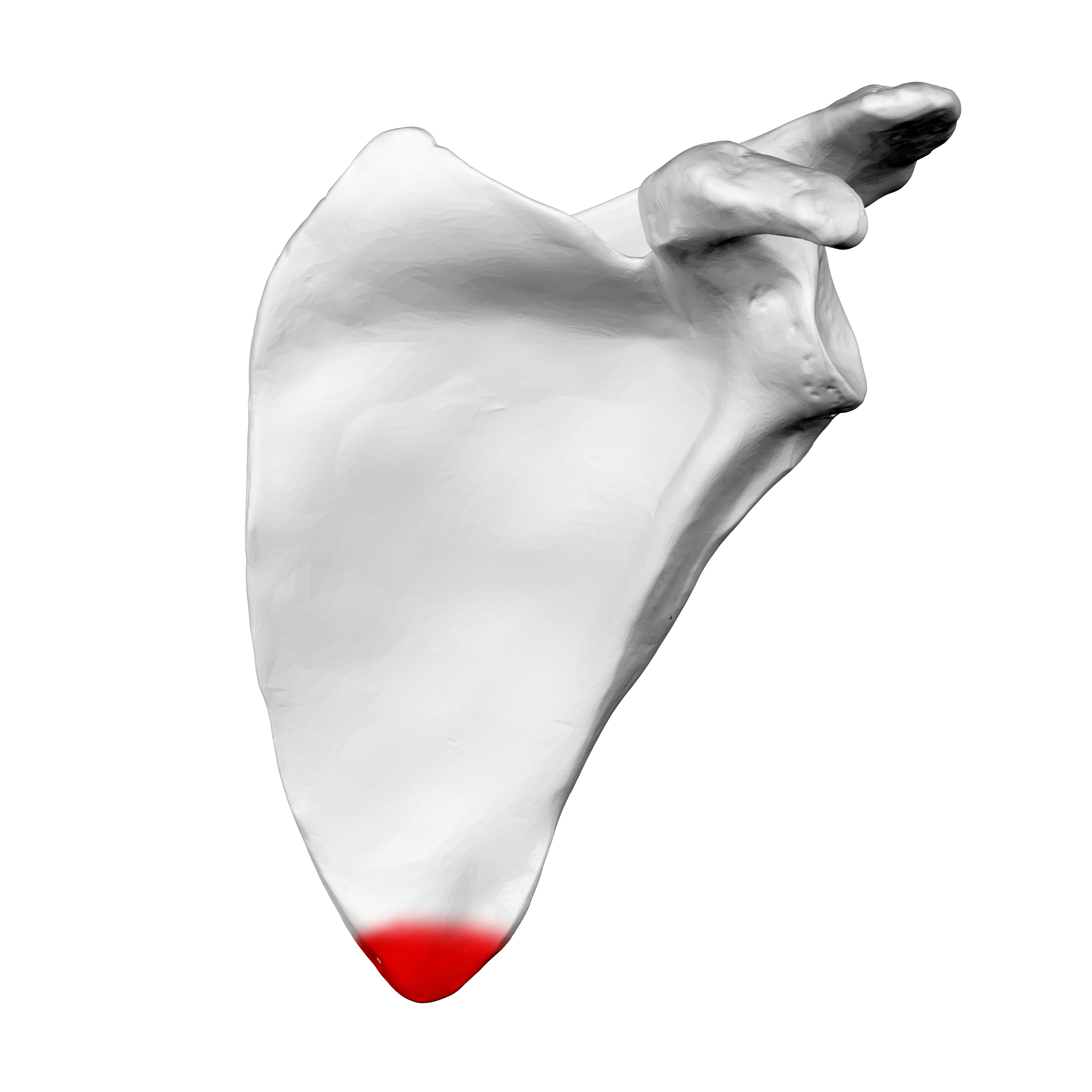 File:Inferior Angle Of The Left Scapula02.png