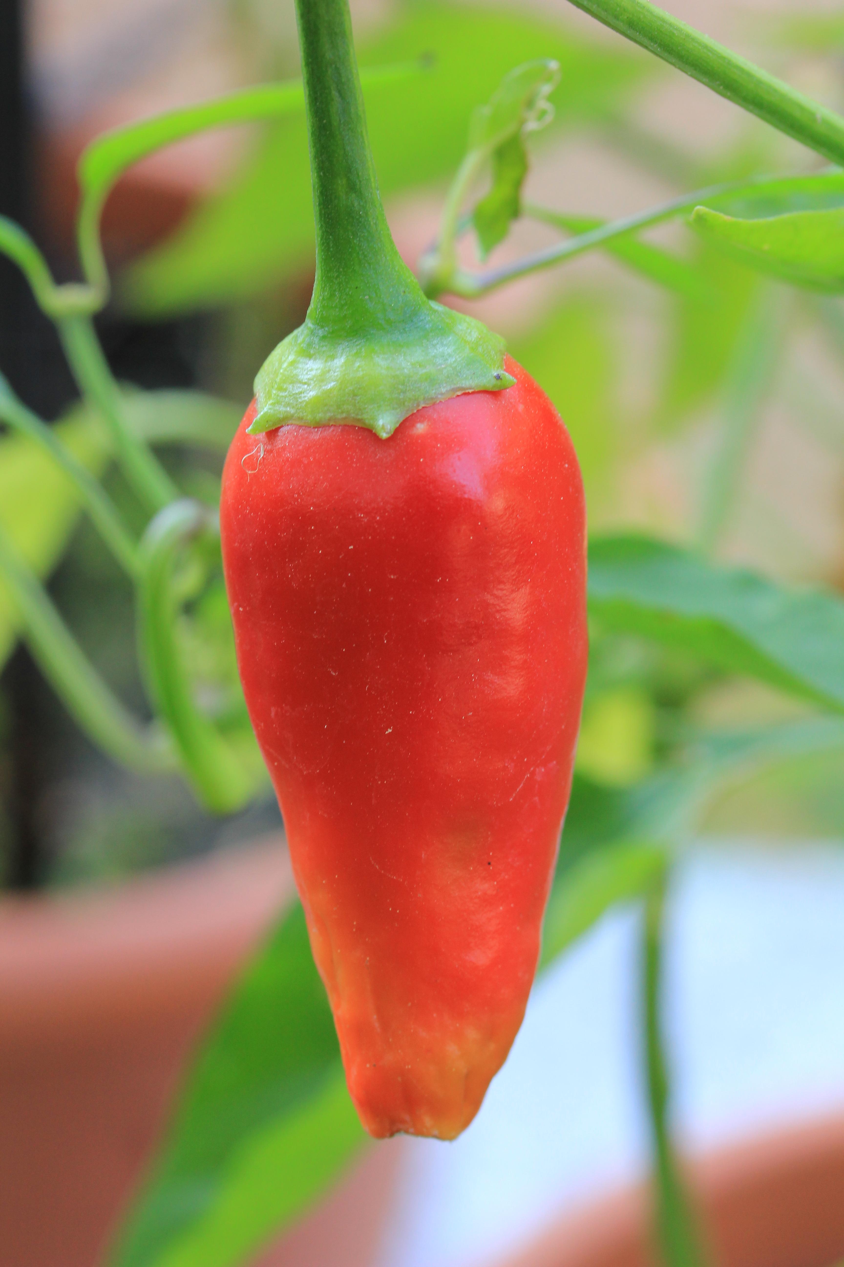 File jardin botanique henri gaussen piment de wikimedia commons - Piment de cayenne culture ...
