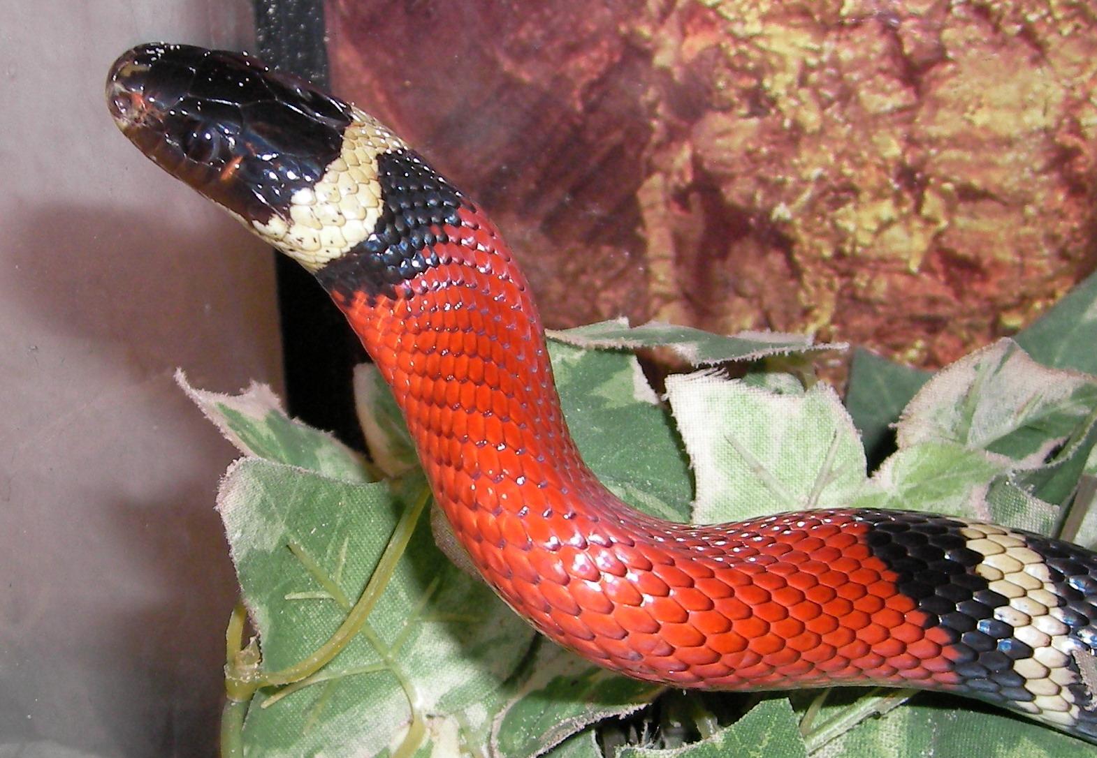 Sinaloan milk snake - Wikipedia