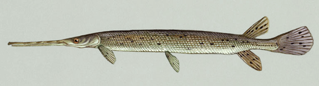 File:Longnose gar.png - Wikipedia, the free encyclopedia