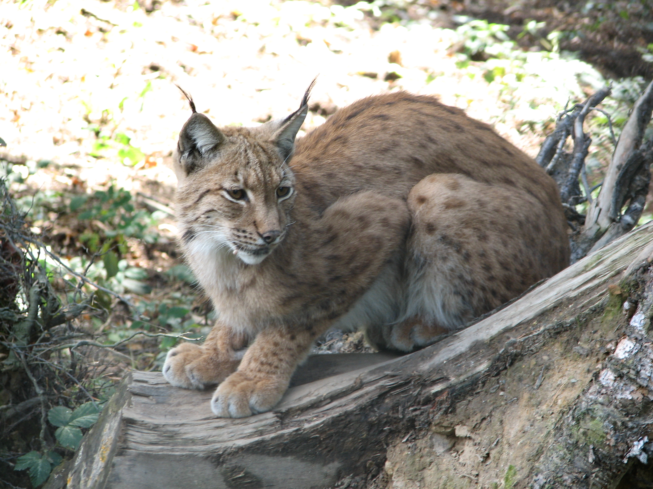 Lynx Cats For Sale In Washington State