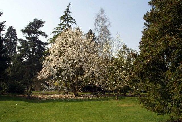 Magnolia at Nuneham Courtney Arboretum - geograph.org.uk - 1263000