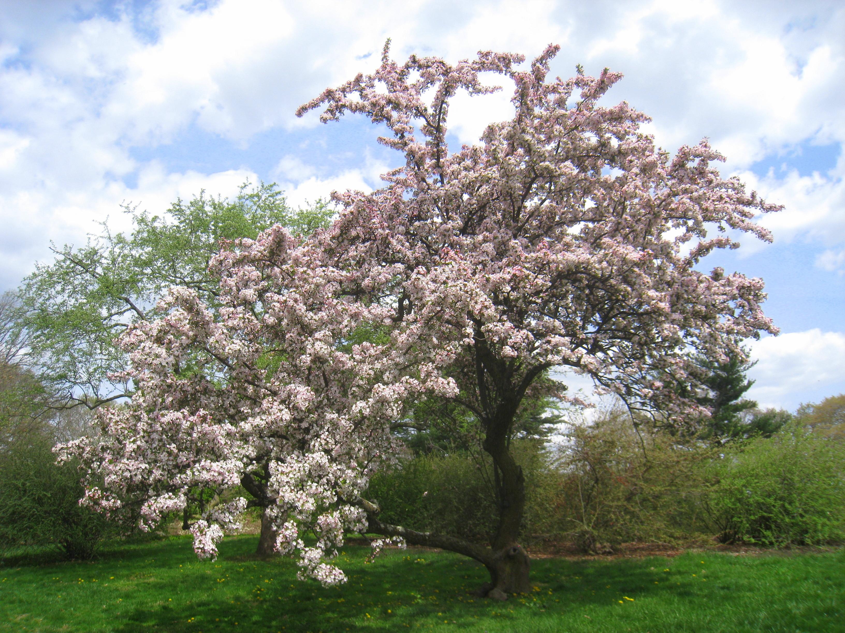 Malus hupehensis, Arnold Arboretum - IMG 6008