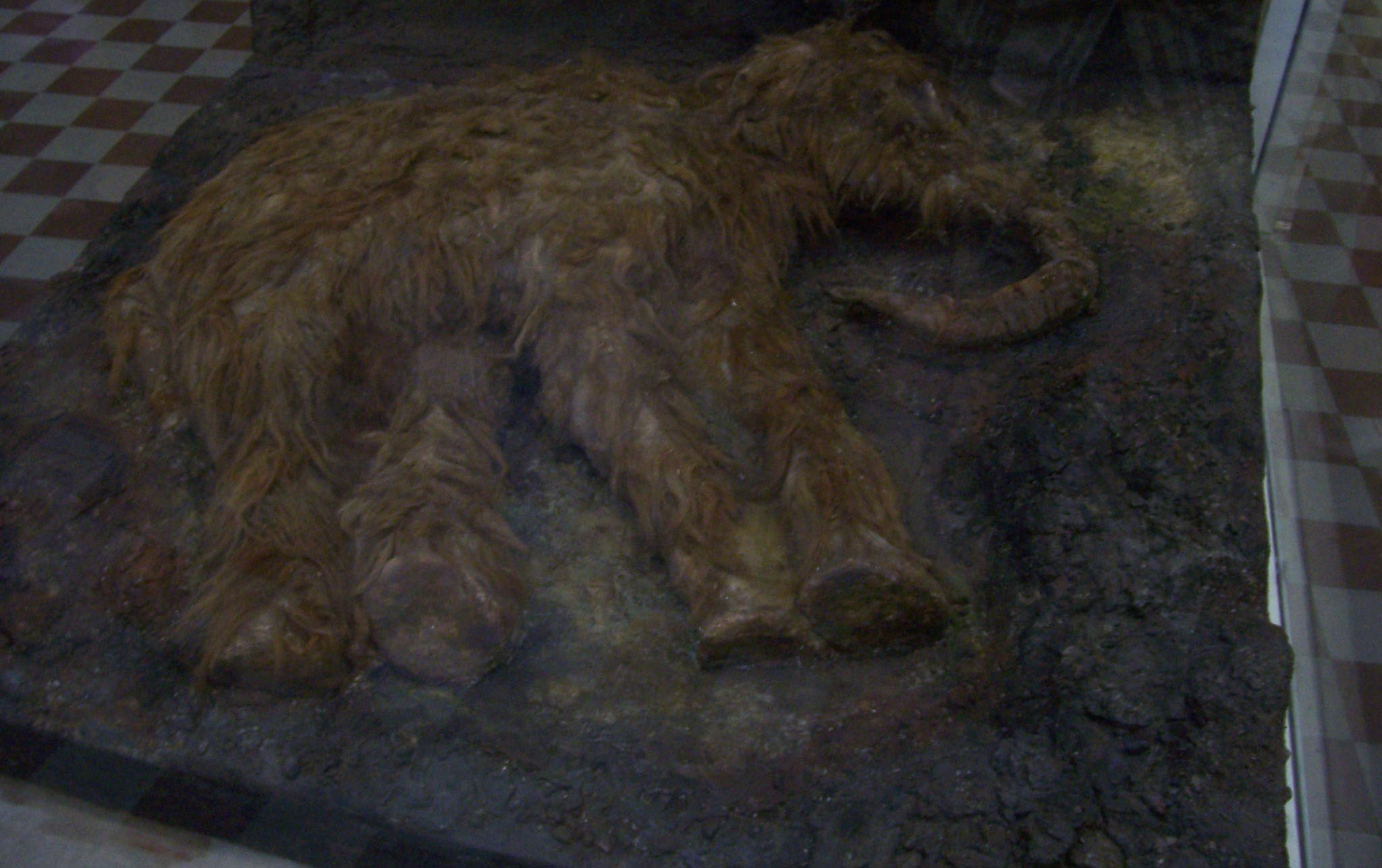 mummified mammoth calf (frozen in permafrost) on display in the Museum of Zoology in St Petersburg