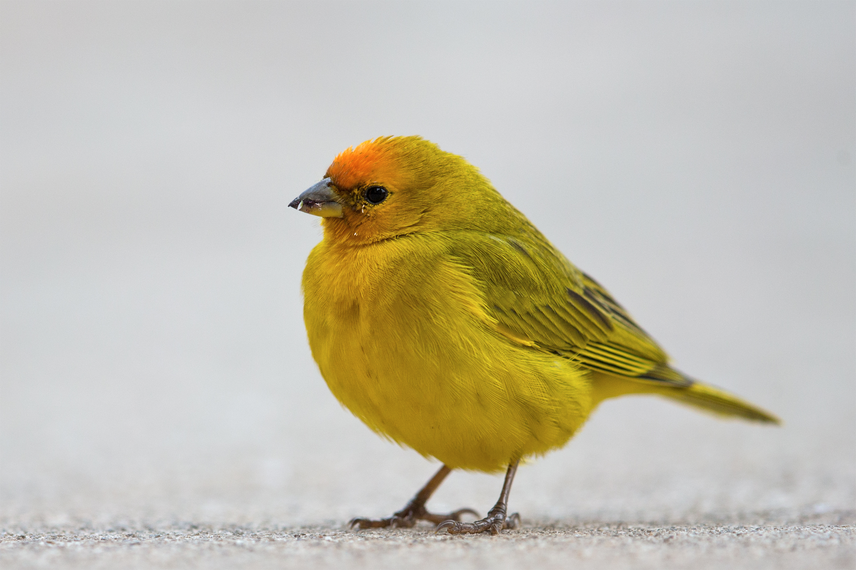 finch Finch is the common name for small to medium-sized, seed-eating birds comprising the passerine family fringillidae, characterized by a short neck, compact body, and short, stout, conical bills adapted.