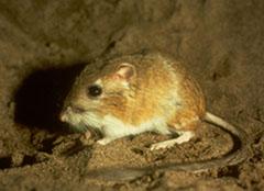 Ord S Kangaroo Rat Wikipedia
