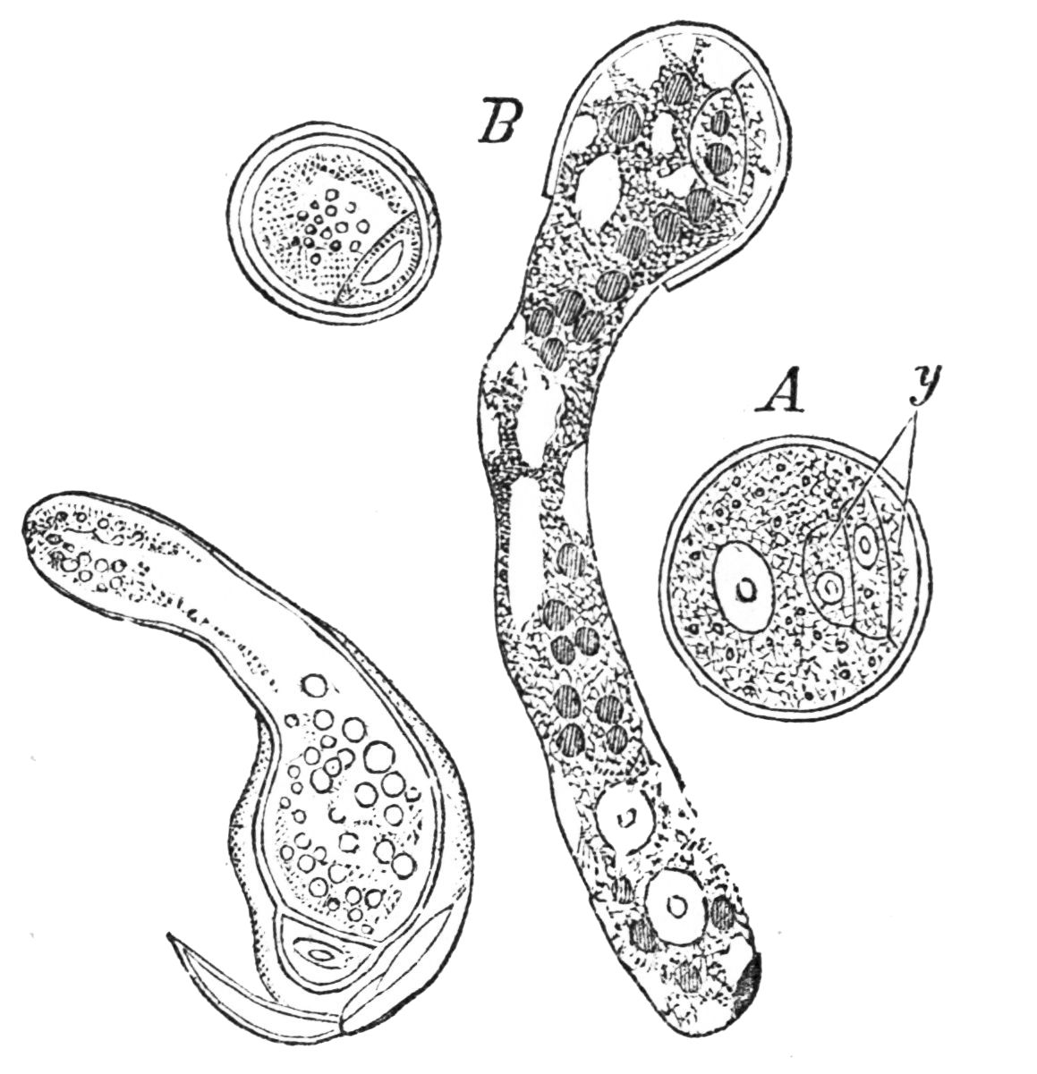 PSM V25 D178 The prothallus in various forms of pollen grains.jpg
