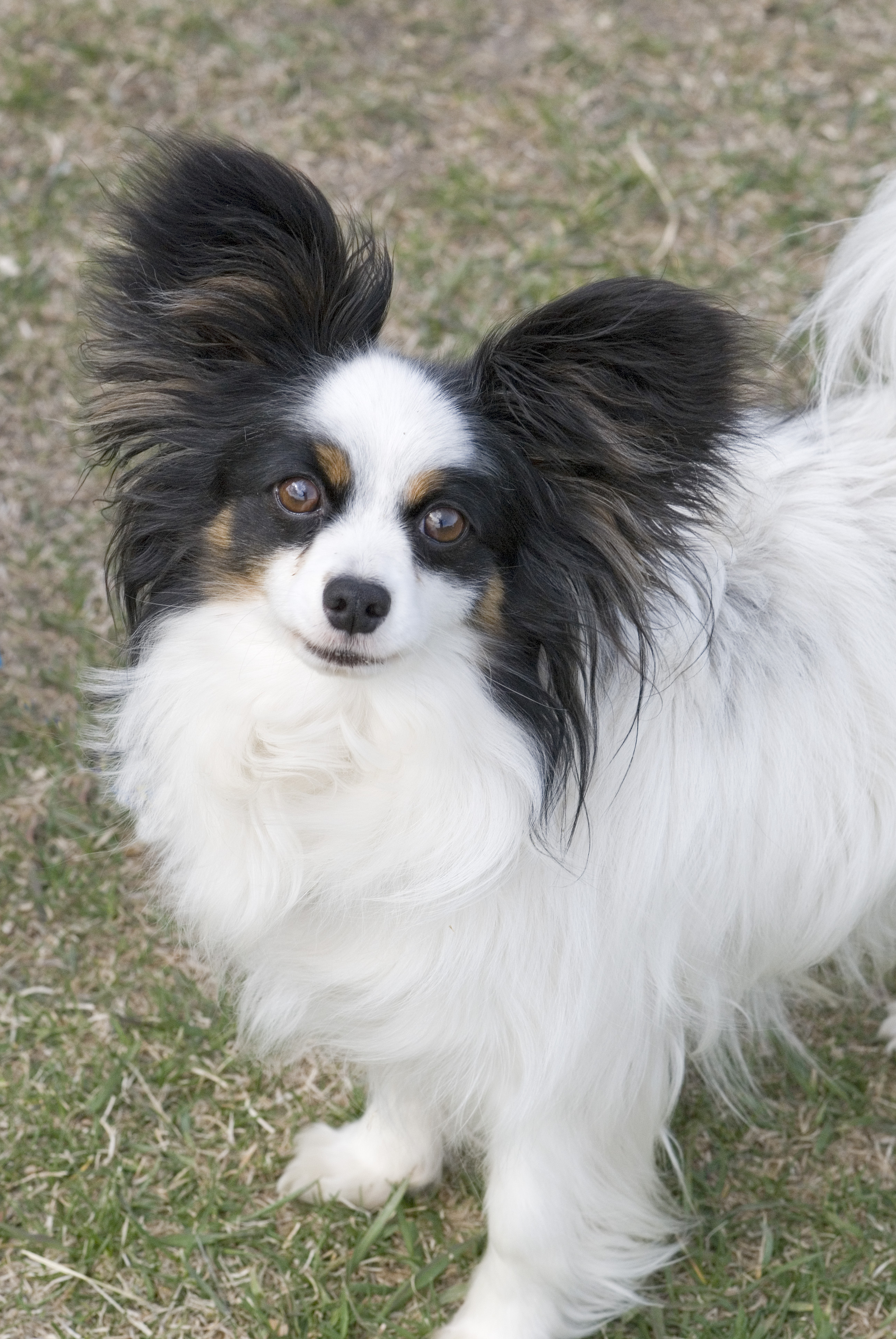 File:Papillon portrait Flickr.jpg  Wikimedia Commons