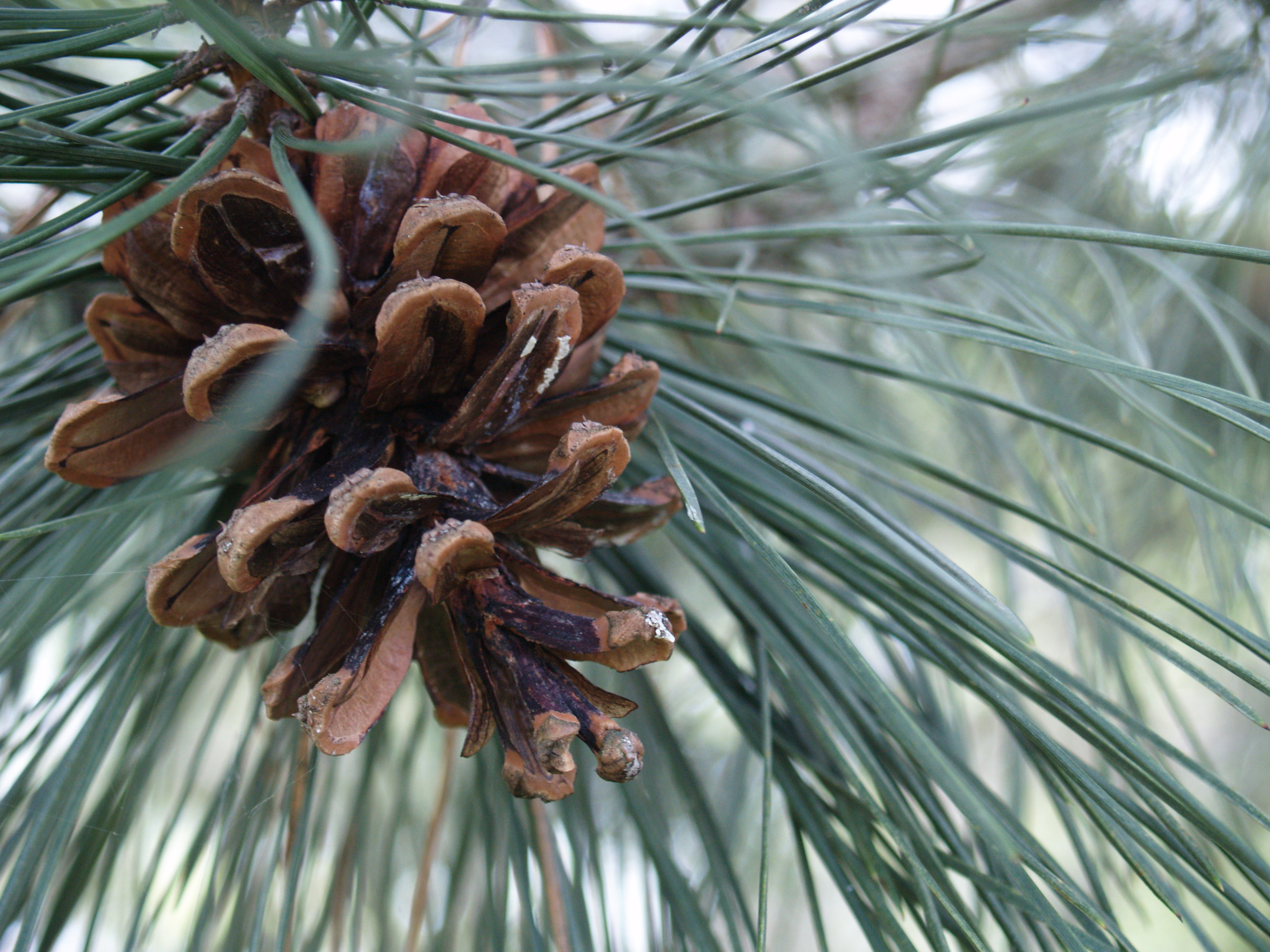 pines trees and cones trees Lodgepole pine trees love forest fires  how come lodgepole pine cones like fire so much when lodgepole pines grow,.