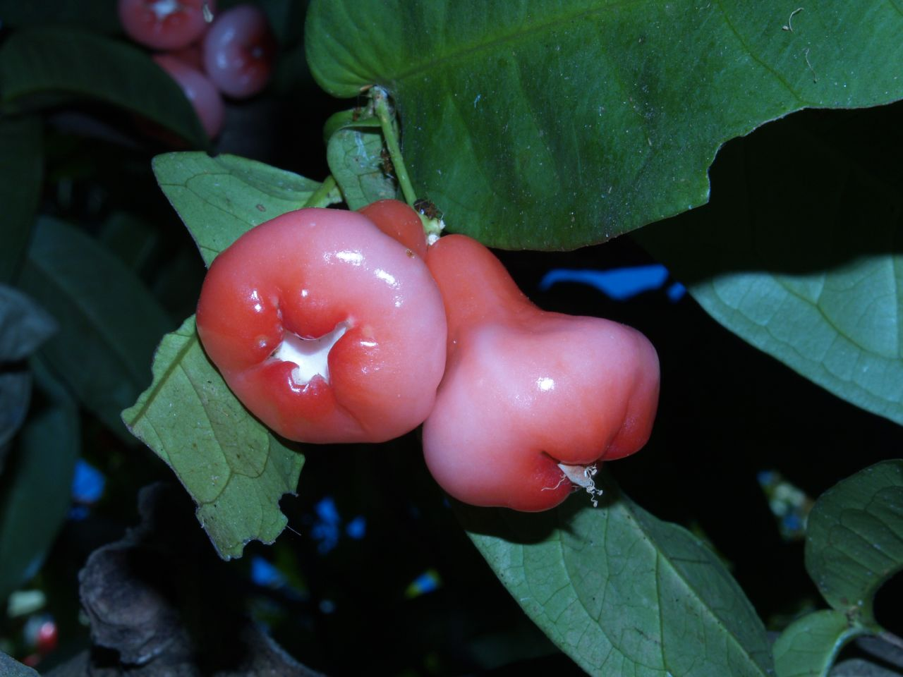 File Pink Fruits 373198776 Jpg Wikimedia Commons