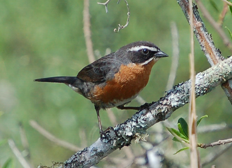 d7afacb8f9 Black-and-rufous warbling finch - Wikipedia