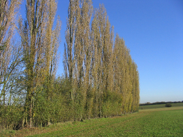 Poplar Trees, Bobbingworth, Essex - geograph.org.uk - 80057