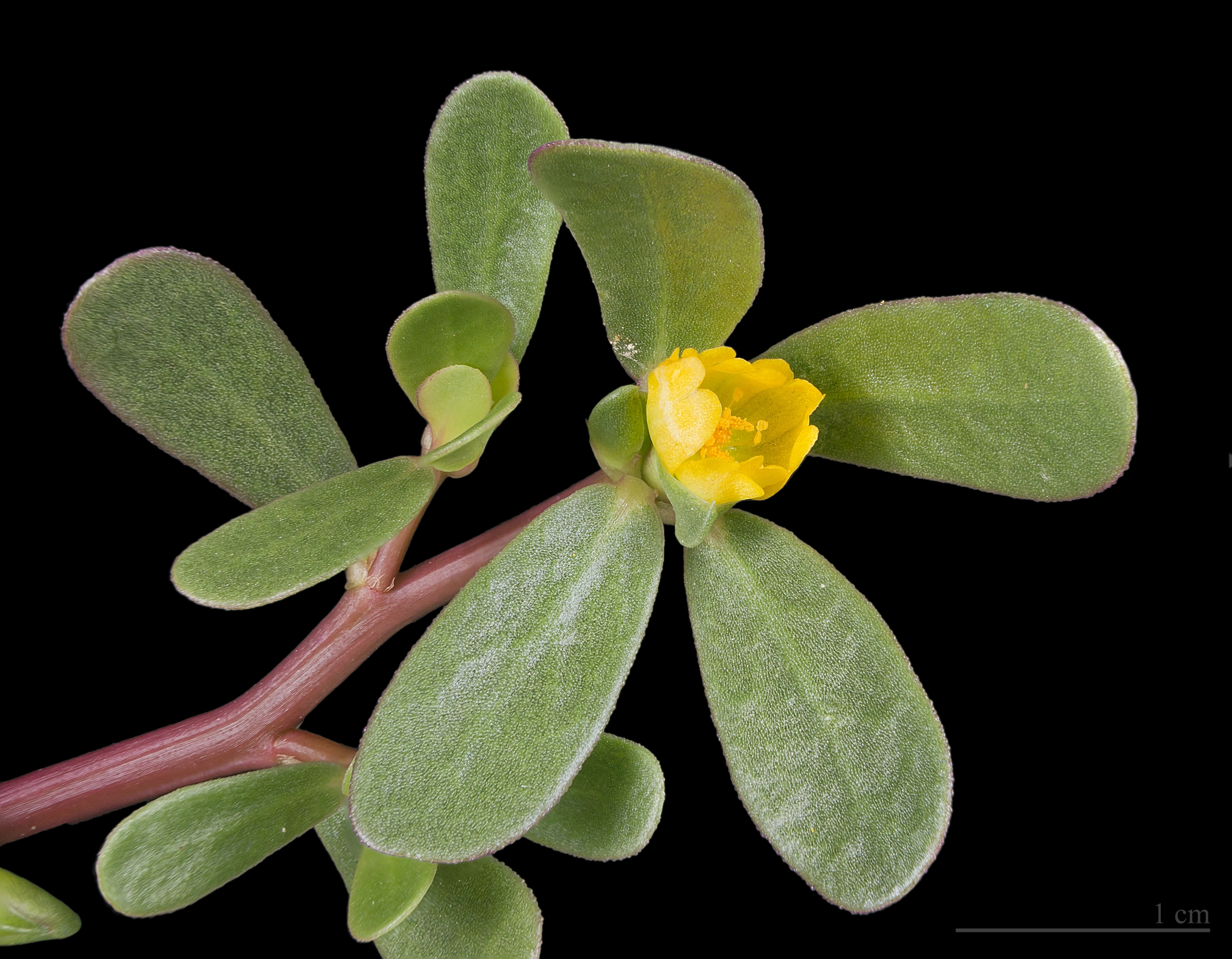 Depiction of Portulaca oleracea